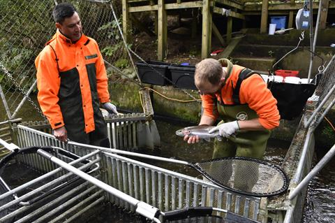 Fishery Rangers stripping trout for the hatchery